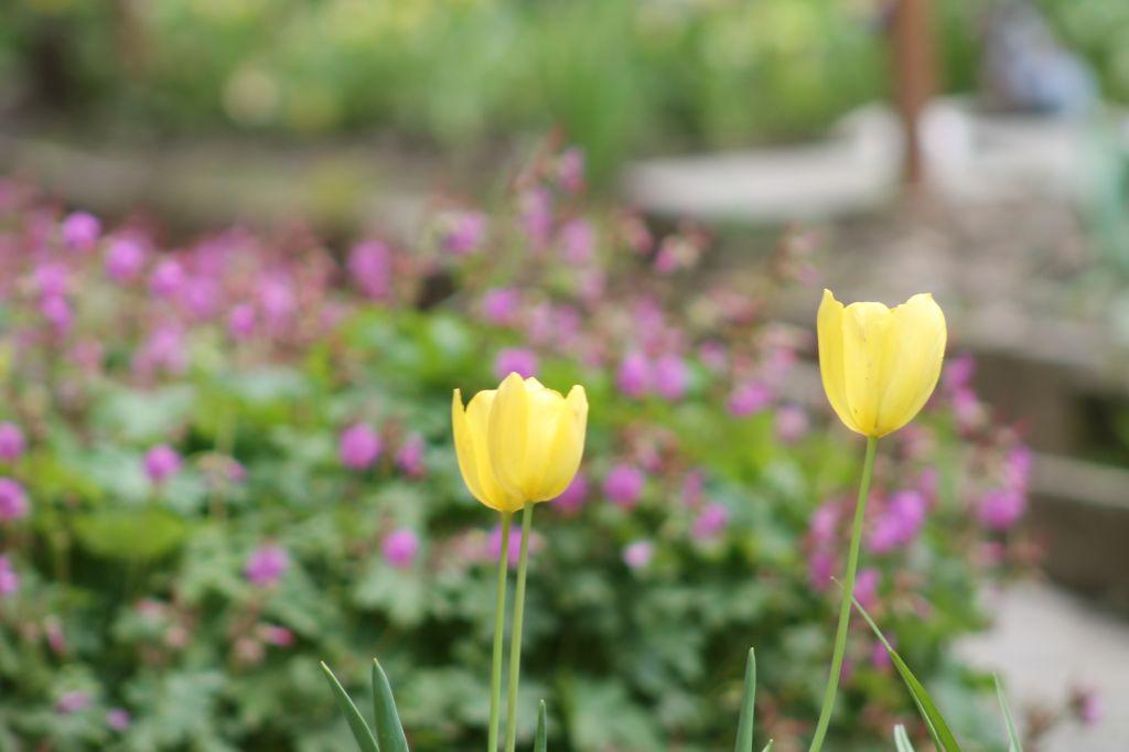 Julti laleta yellow tulip